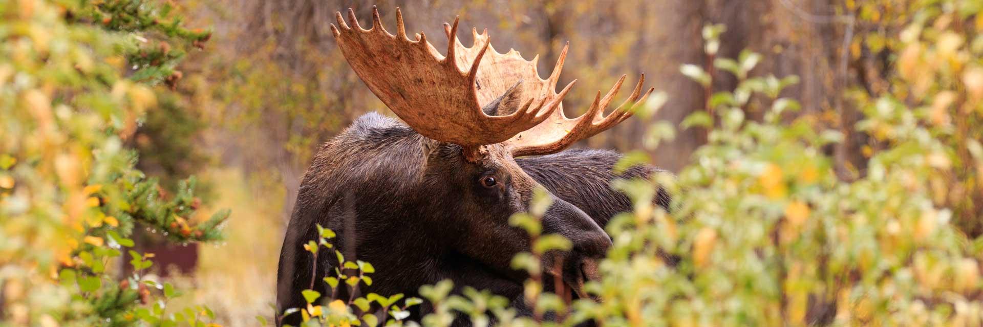 Fall-Moose-1